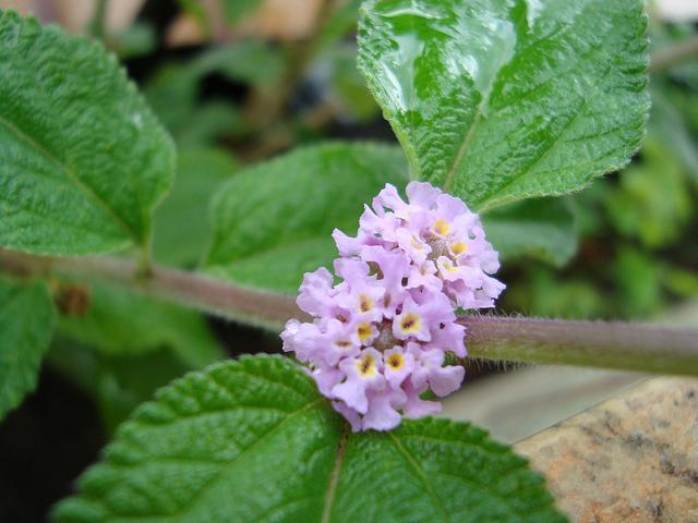 cidreira flor