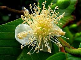 goiaba flor